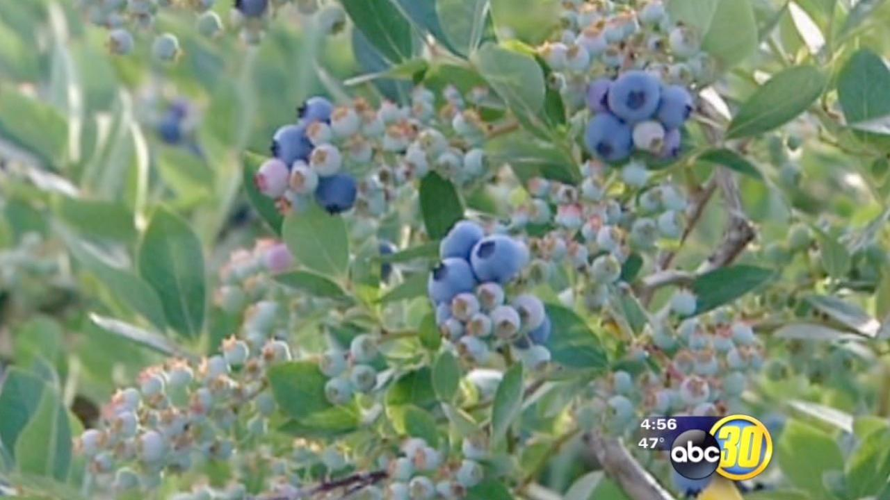 Demand for American blueberries in Japan is going up