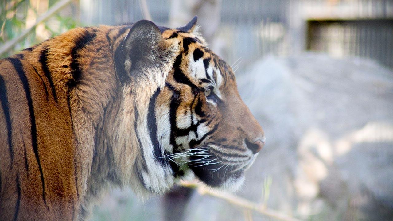 Paka, Malyan tiger