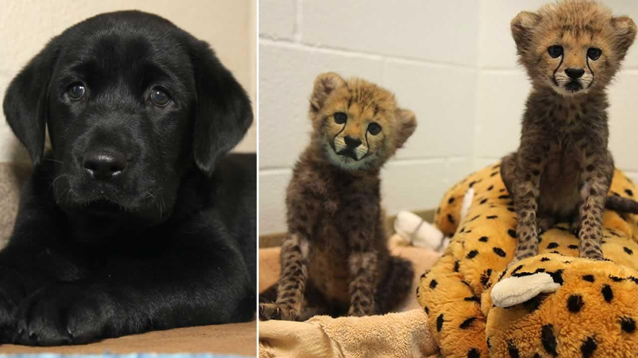 Two male cheetah cubs have joined the Dallas Zoo. Zoo officials have marked the occasion by providing them with a puppy.