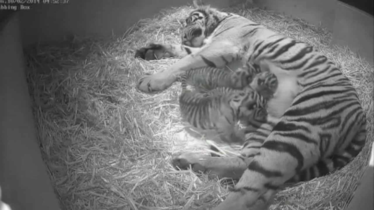Sumatran tiger cubs.