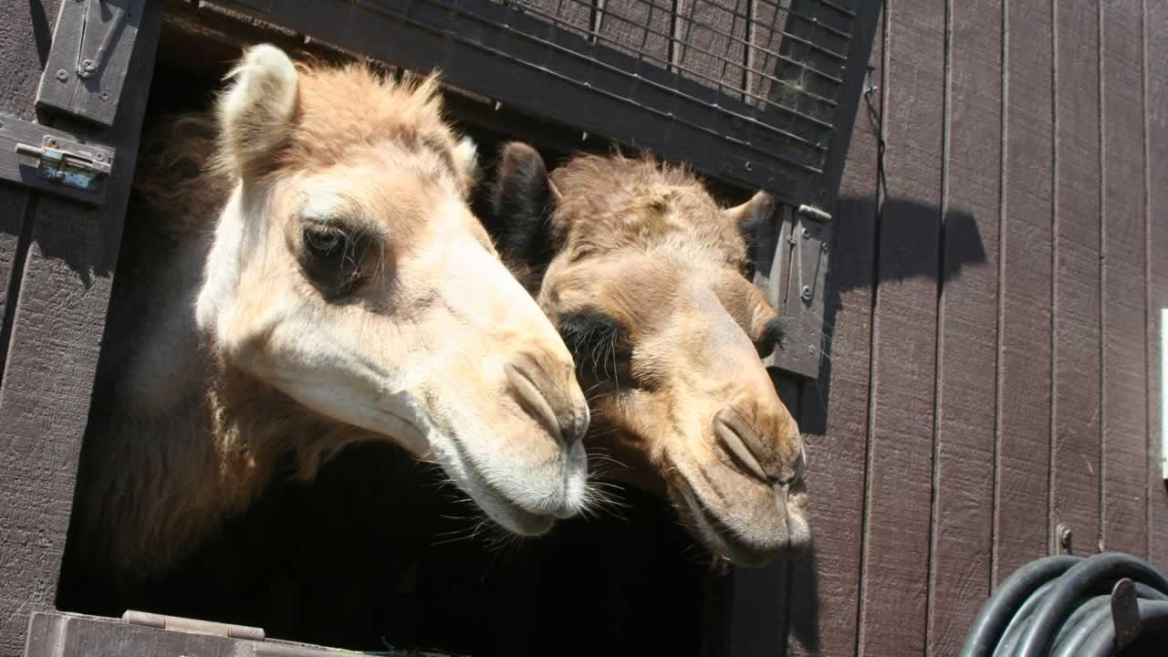 Two new Arabian camels have arrived at the Oakland Zoo.