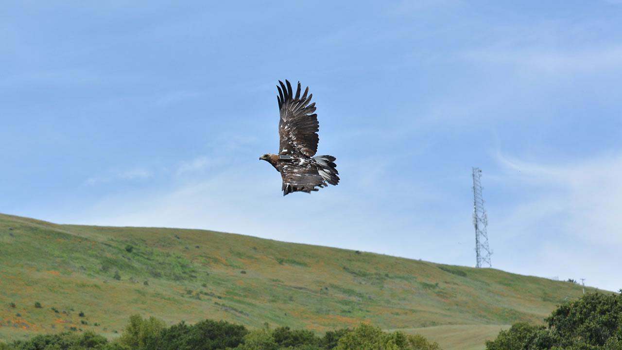 The recovered golden eagle takes to the skies after eight months of treatment and rehabilitation at the California Raptor Center, UC Davis School of Veterinary Medicine.