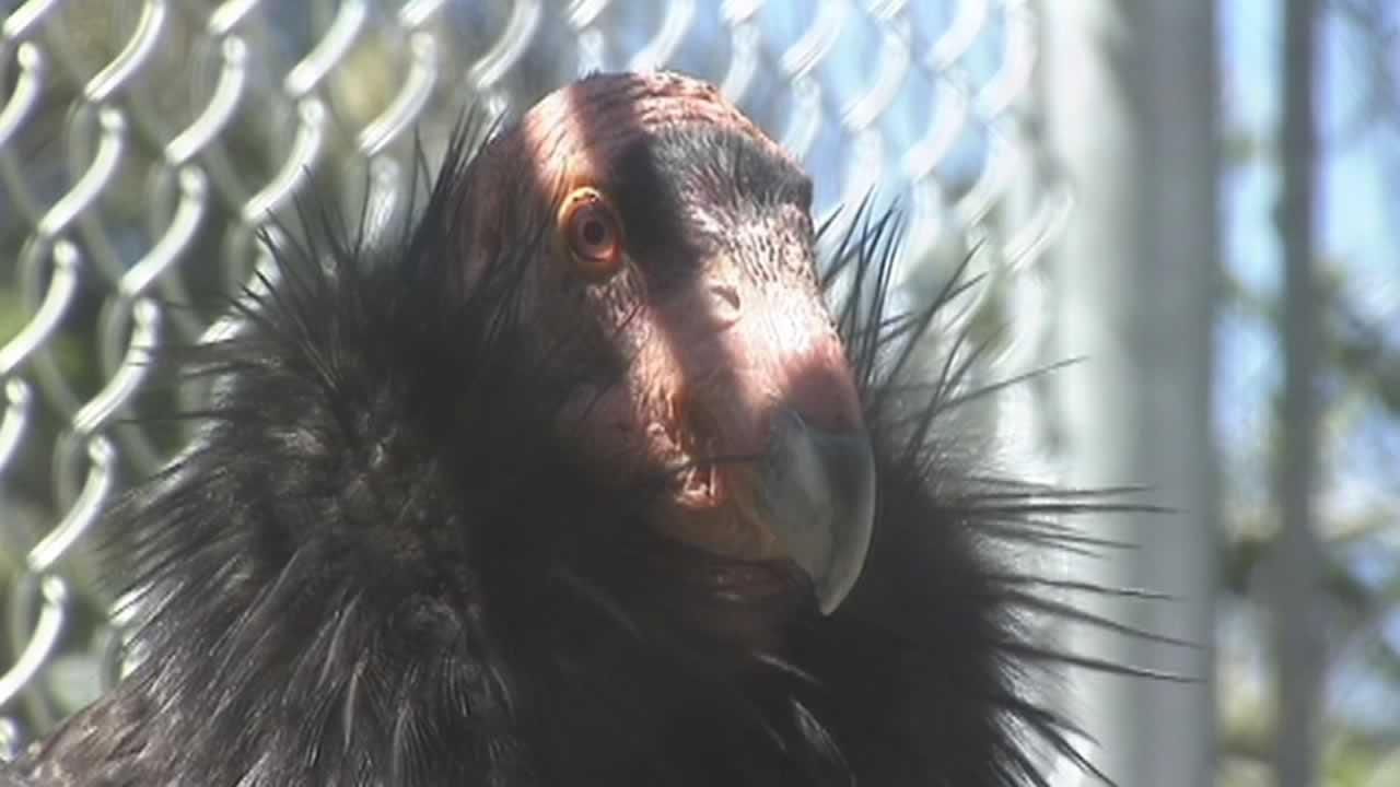 A California Condor being treated at the Oakland Zoo.