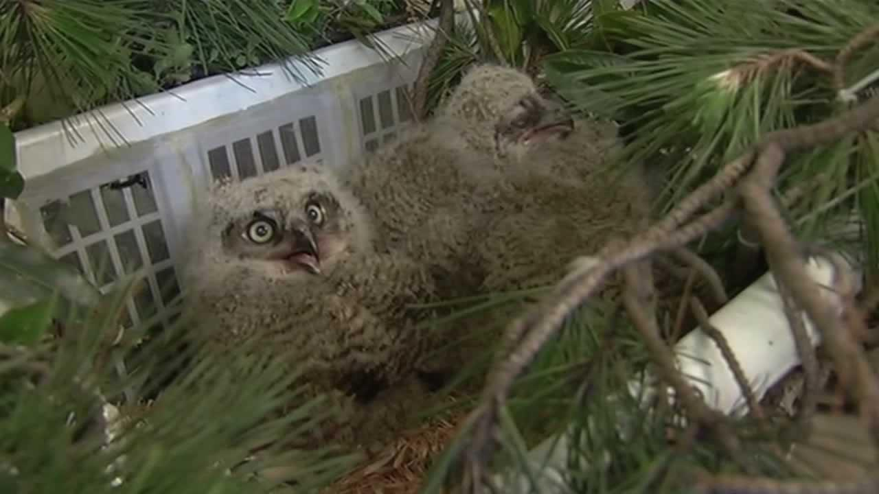 Workers with the Peninsula Humane Society will be out Thursday evening, trying to put a group of baby owls back in their nest.