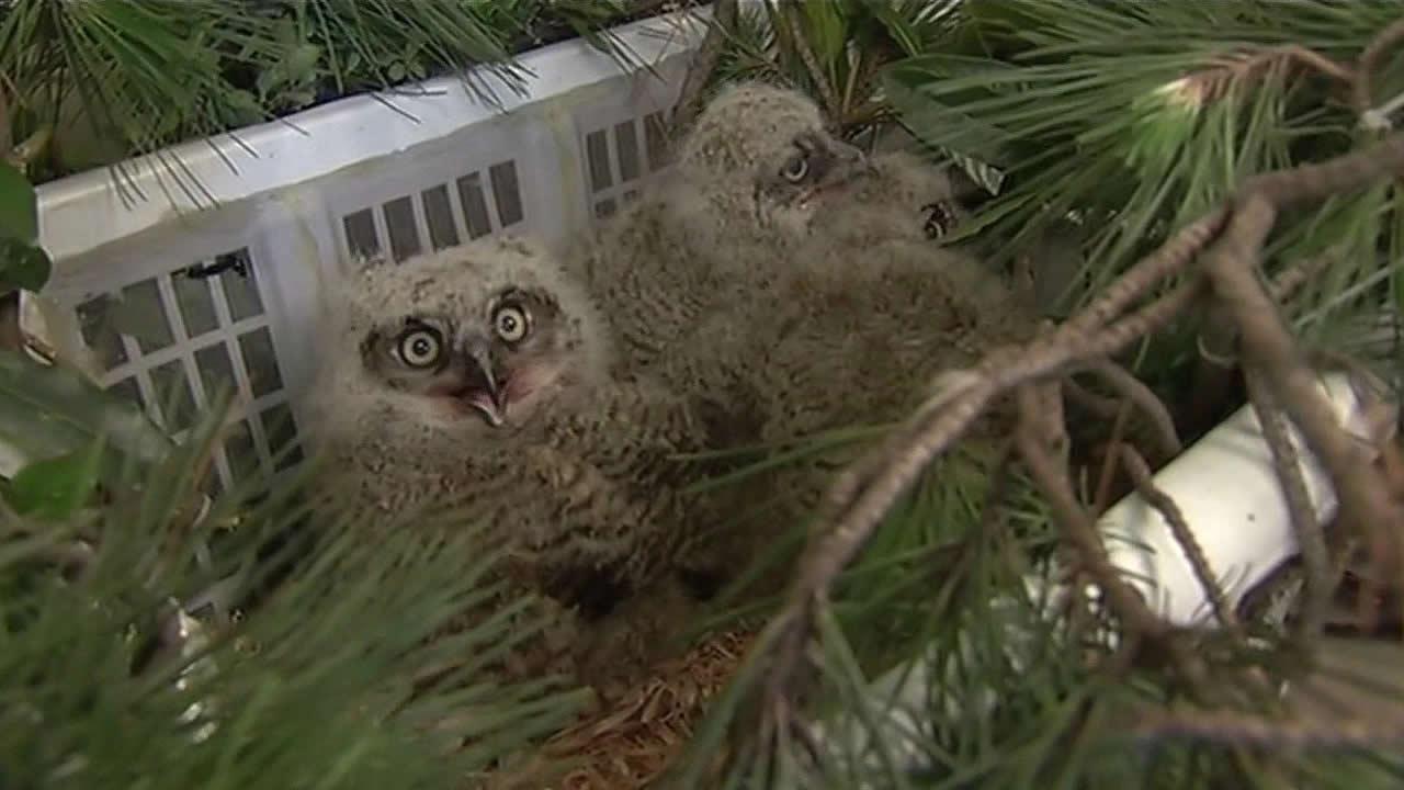 Three baby owls