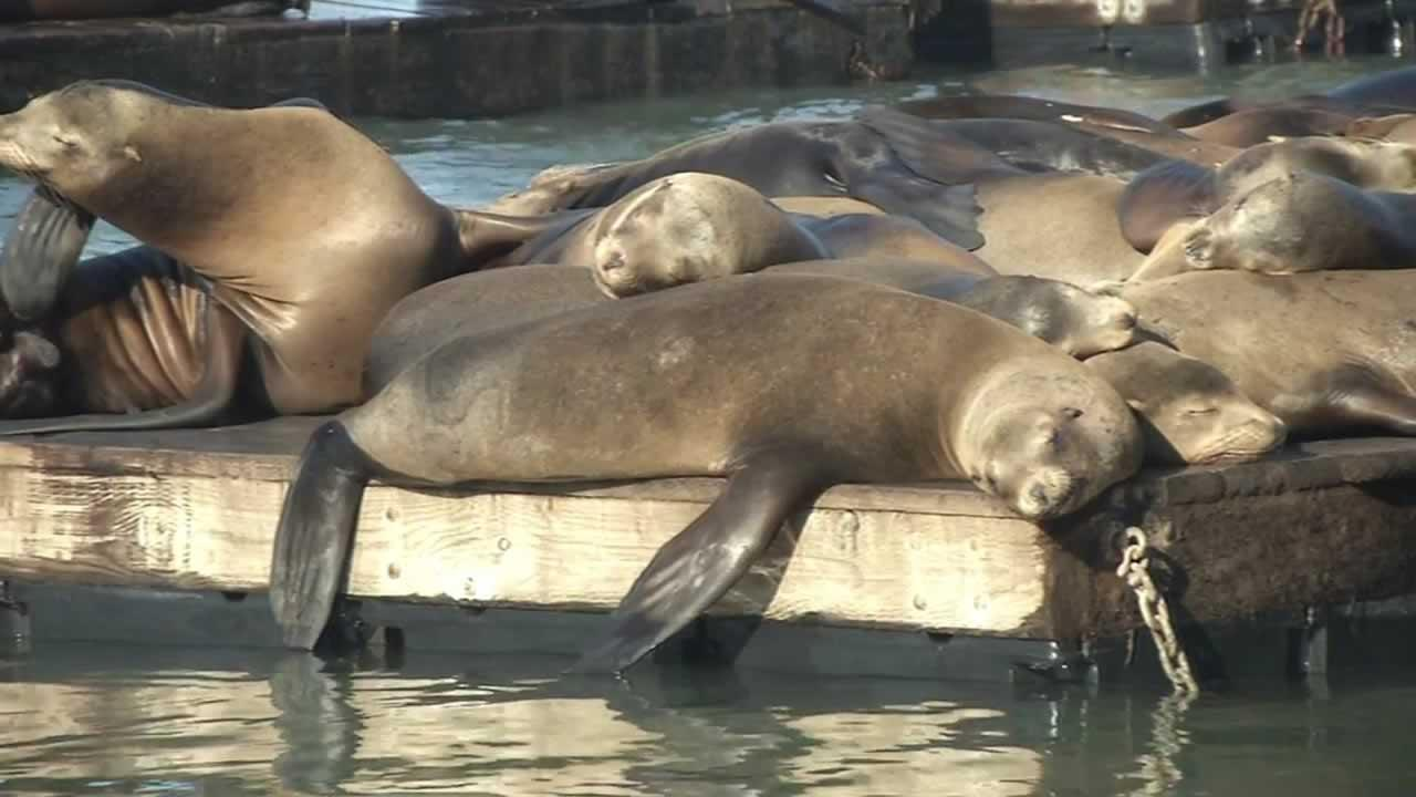 Pier 39 celebrates sea lion anniversary