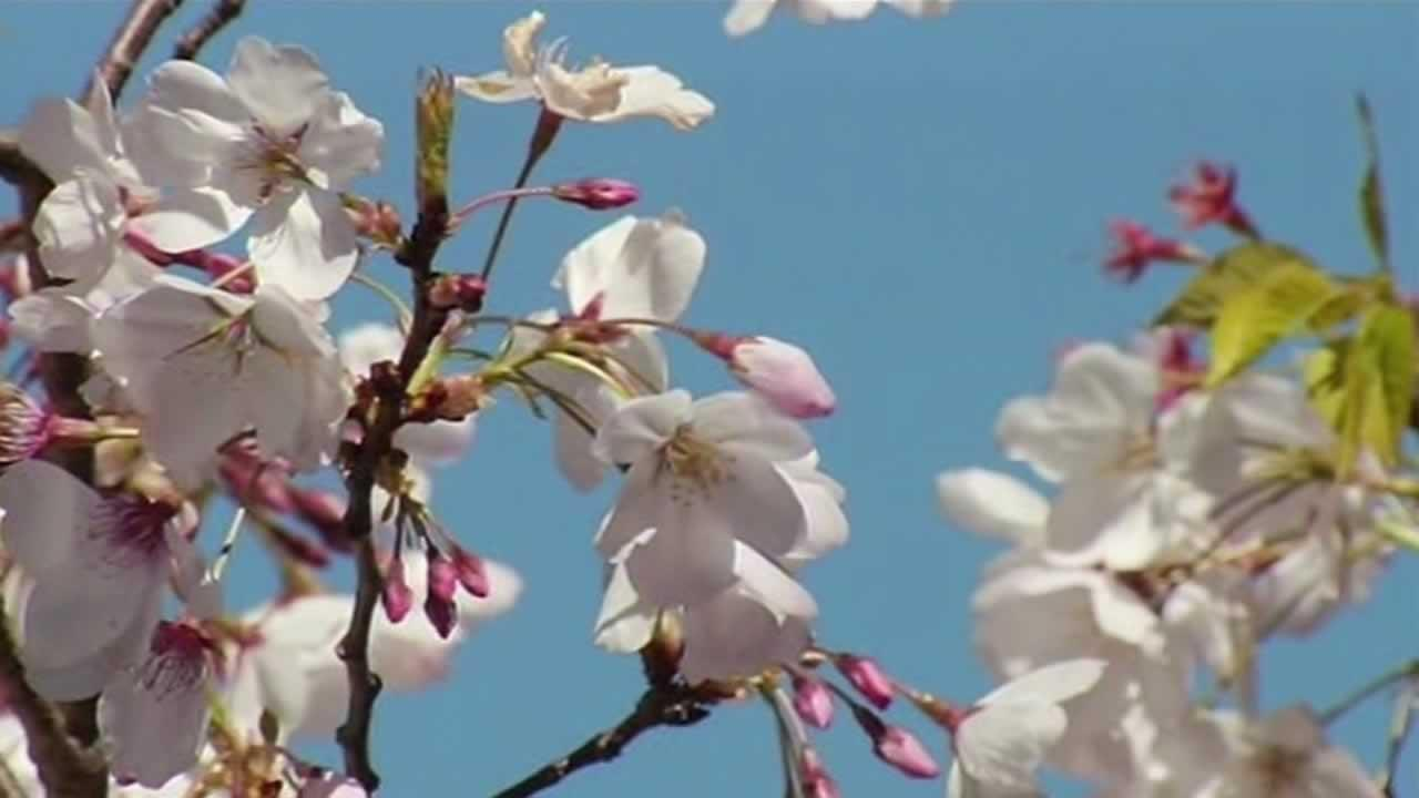 Cherry blossoms in Japantown in San Francisco.