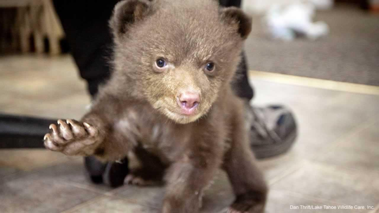 Theres a cuddly mystery in South Lake Tahoe, where an animal rescue group says someone dropped off an orphaned bear cub.