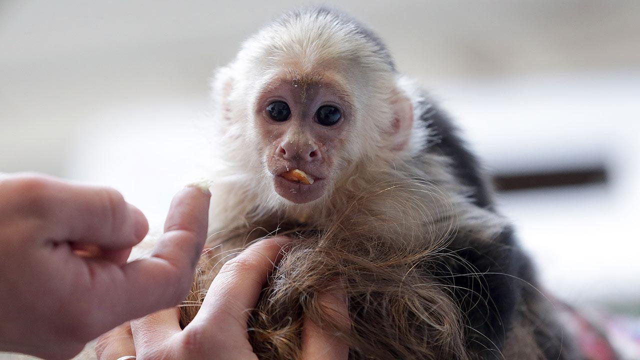 Justin Biebers monkey