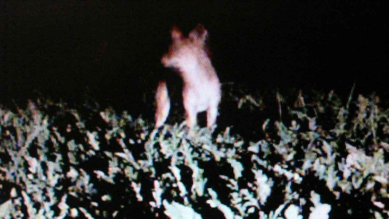Coyotes caught on camera tearing up crops at small Galveston County farm