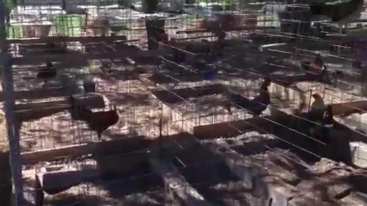 Roosters seized