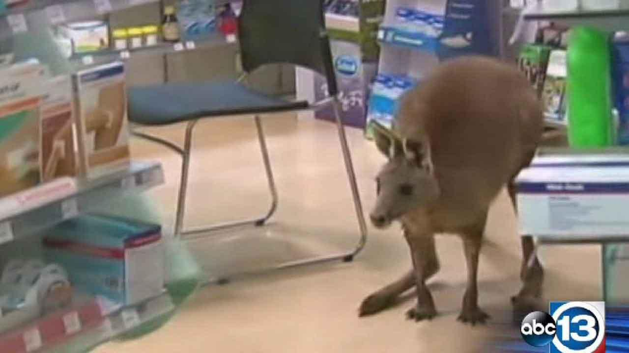 Officials believe the kangaroo hopped into the terminal after it was hit by a car.