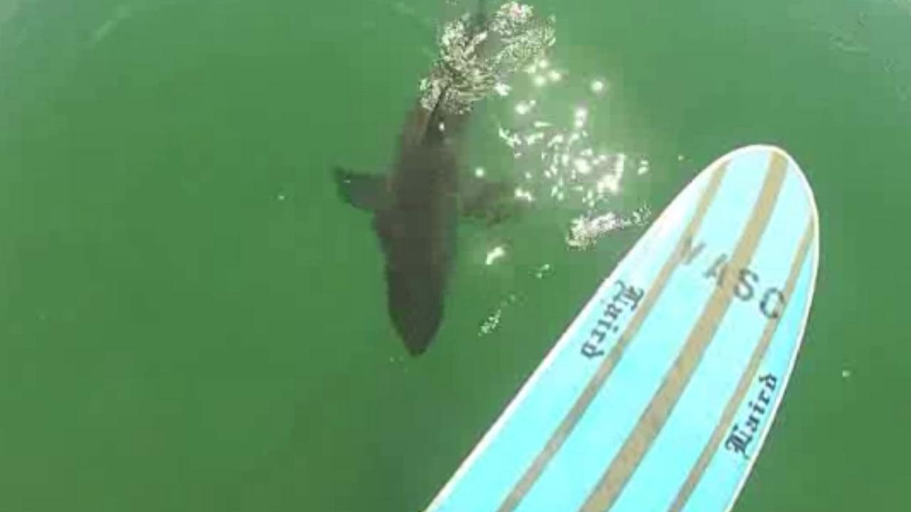Paddleboarder's video captures close encounter with shark