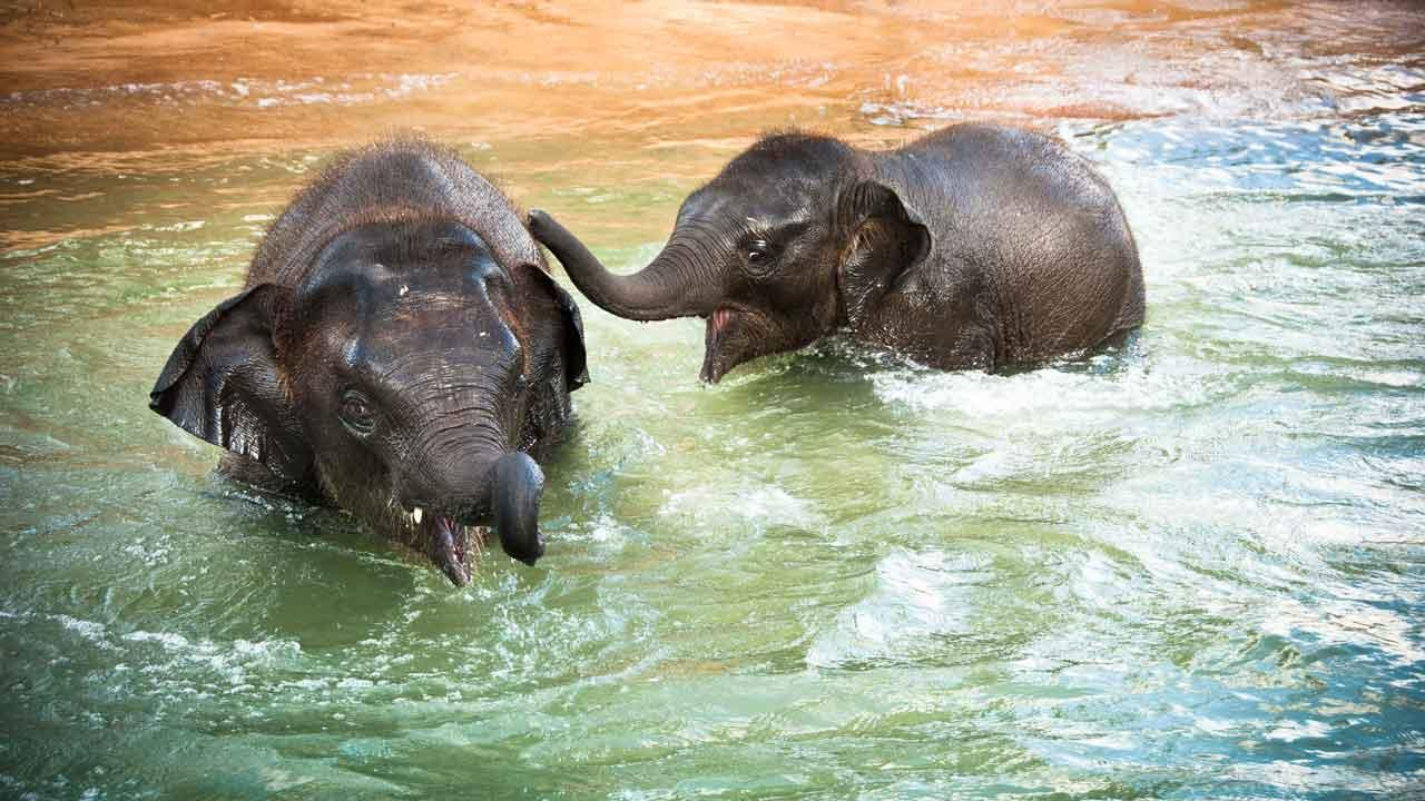 Baylor and Tupelo, born in 2010, are seen at the Houston Zoo McNair Asian Elephant Habitat