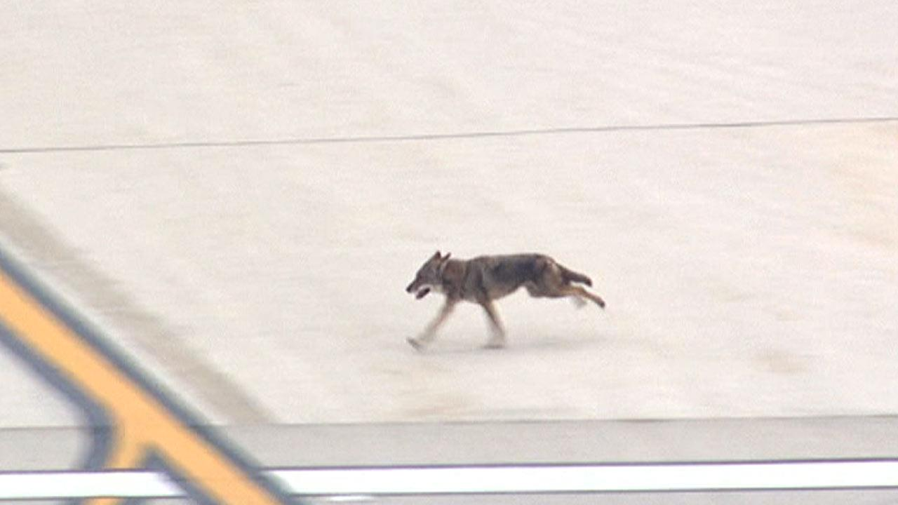 Coyote at Hobby Airport in southeast Houston