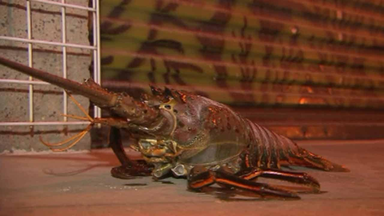 Swimmer nabs monster lobster off California coast