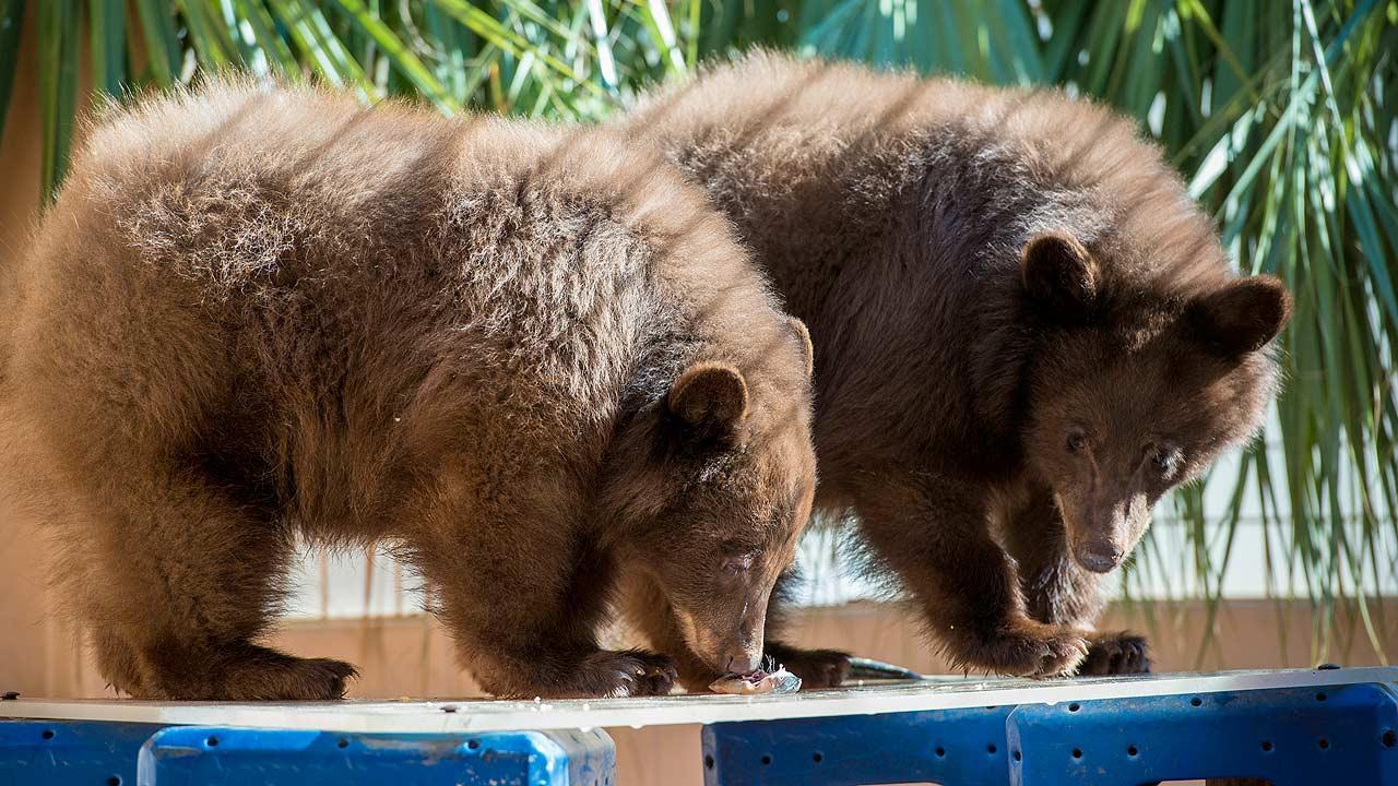Bear cubs loose at Houston Zoo