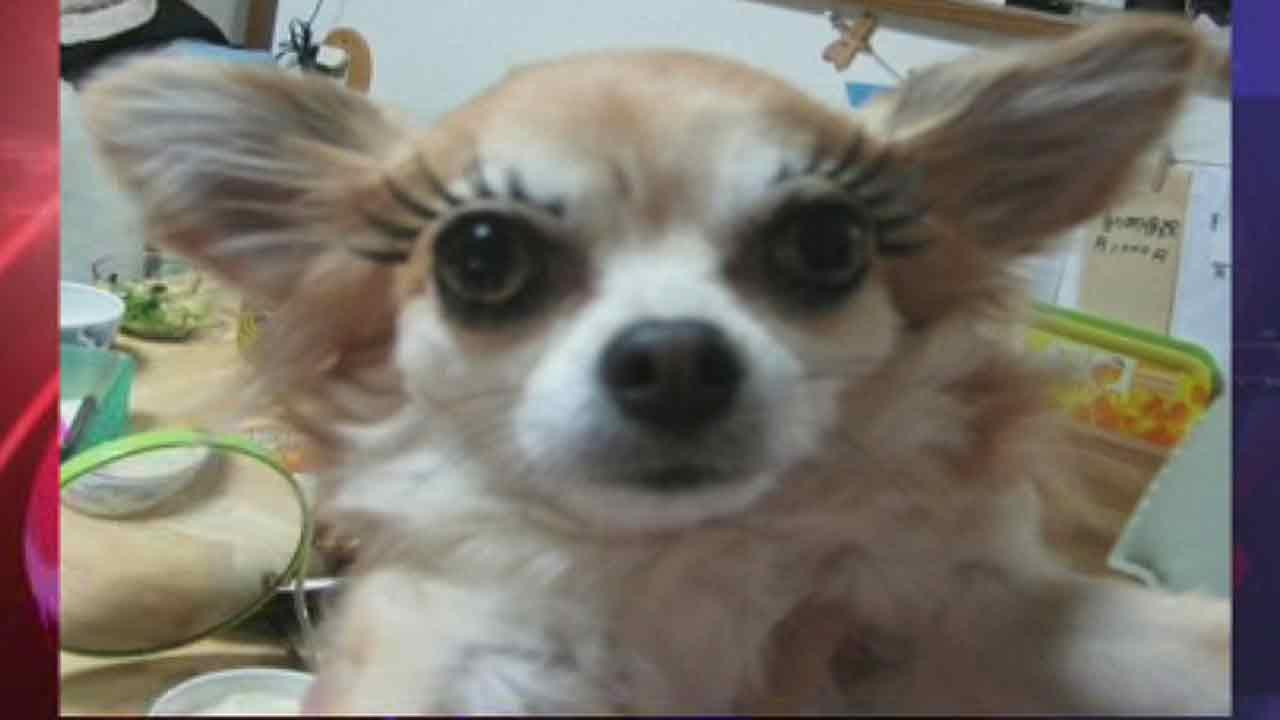 Fake Eyelashes For Dogs New Trend Takes Pet Pampering To New Level