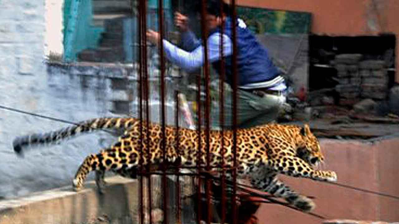 In this Sunday, Feb. 23, 2014 photo, an Indian man moves out of the way of a leopard in the northern Indian city of Meerut, India