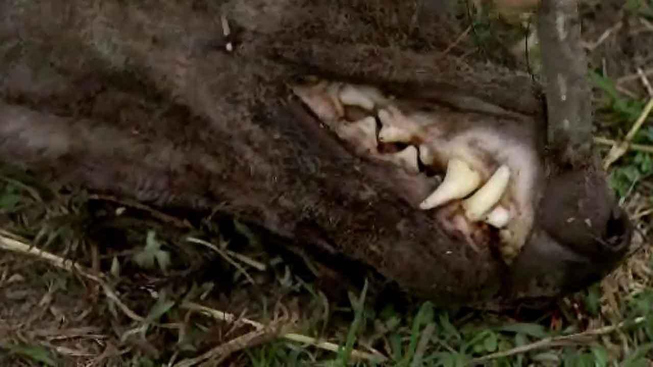 Chupacabra killed on South Texas ranch?