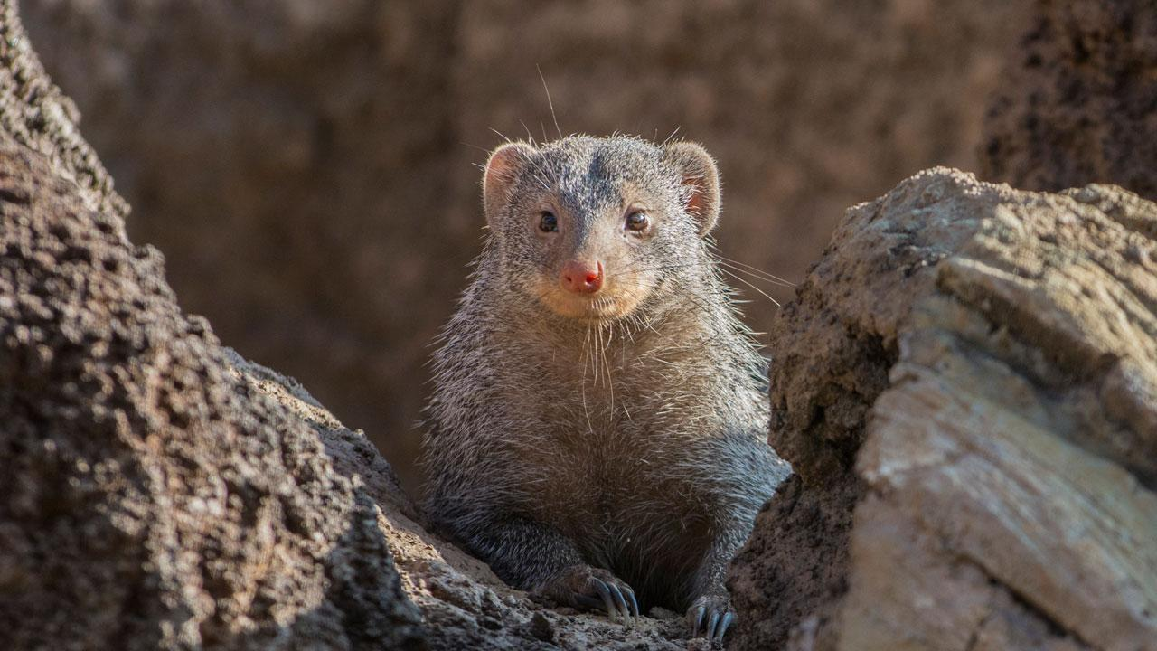 Escaped mongooses