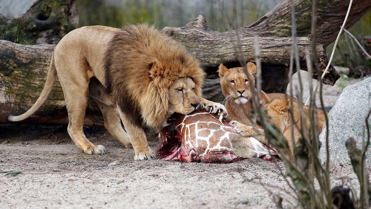 Denmark zoo lions killed