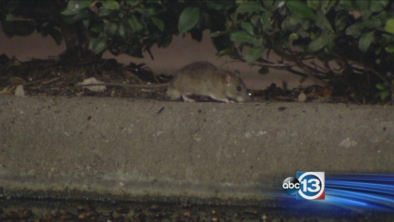 Rats spotted at Galleria-area HEBs parking lot