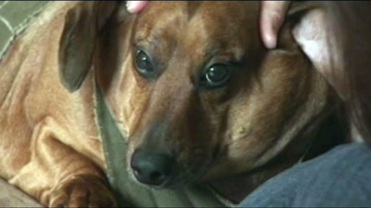 At one point, Obie the dachshund mix was up to 77 pounds. How hes on a strict diet to get him back to a normal size   of about 40 pounds.