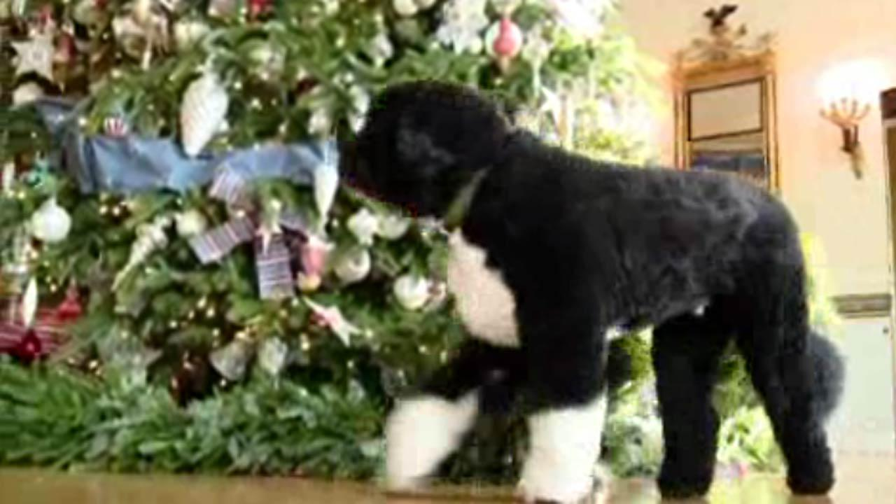 Obama dog 'Bo' inspects White House Christmas decorations