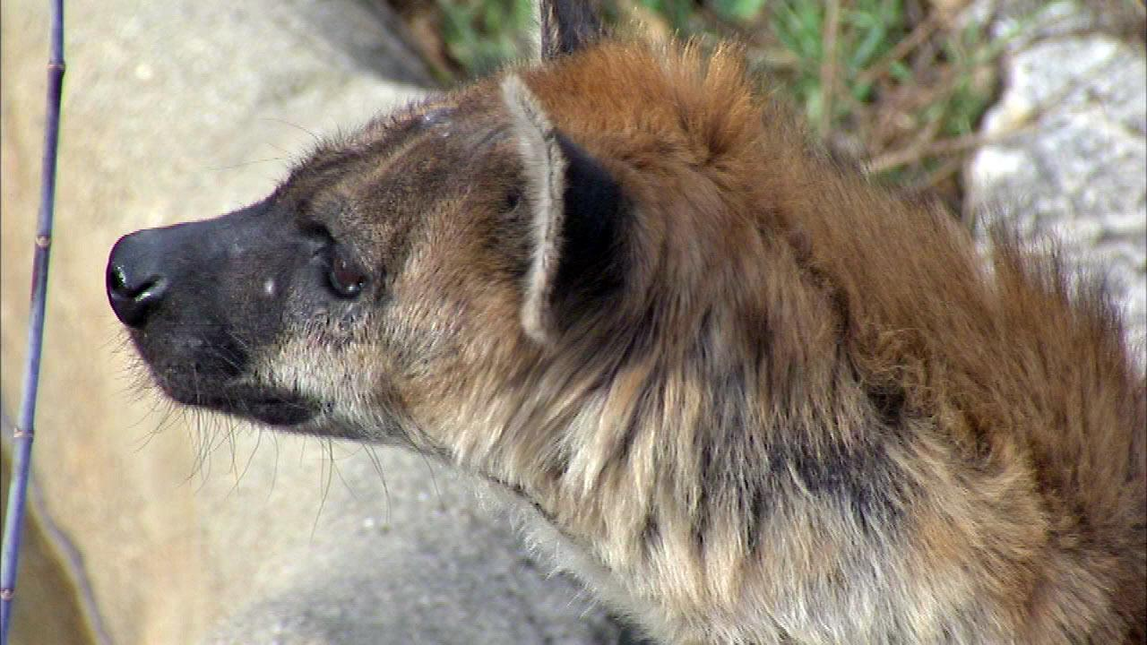 Hyenas welcomed at Lincoln Park Zoo