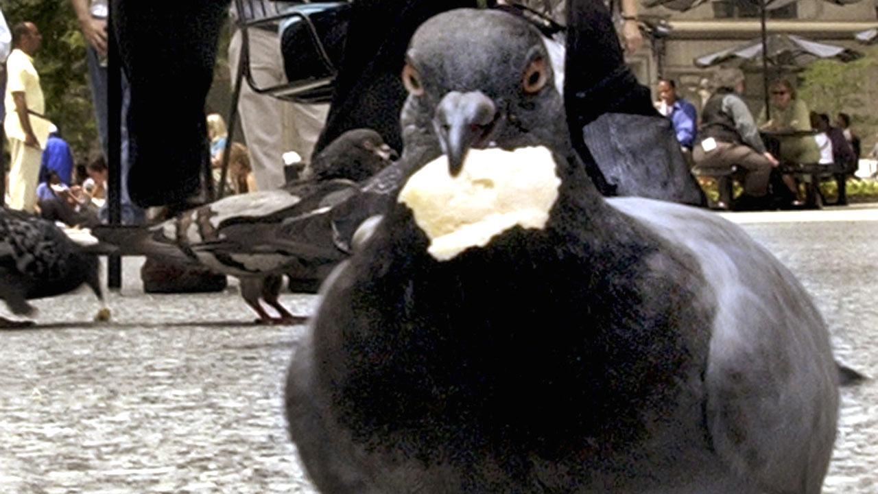 A pigeon holds a scrap of food at Daley Plaza in Chicago in this AP file photo.