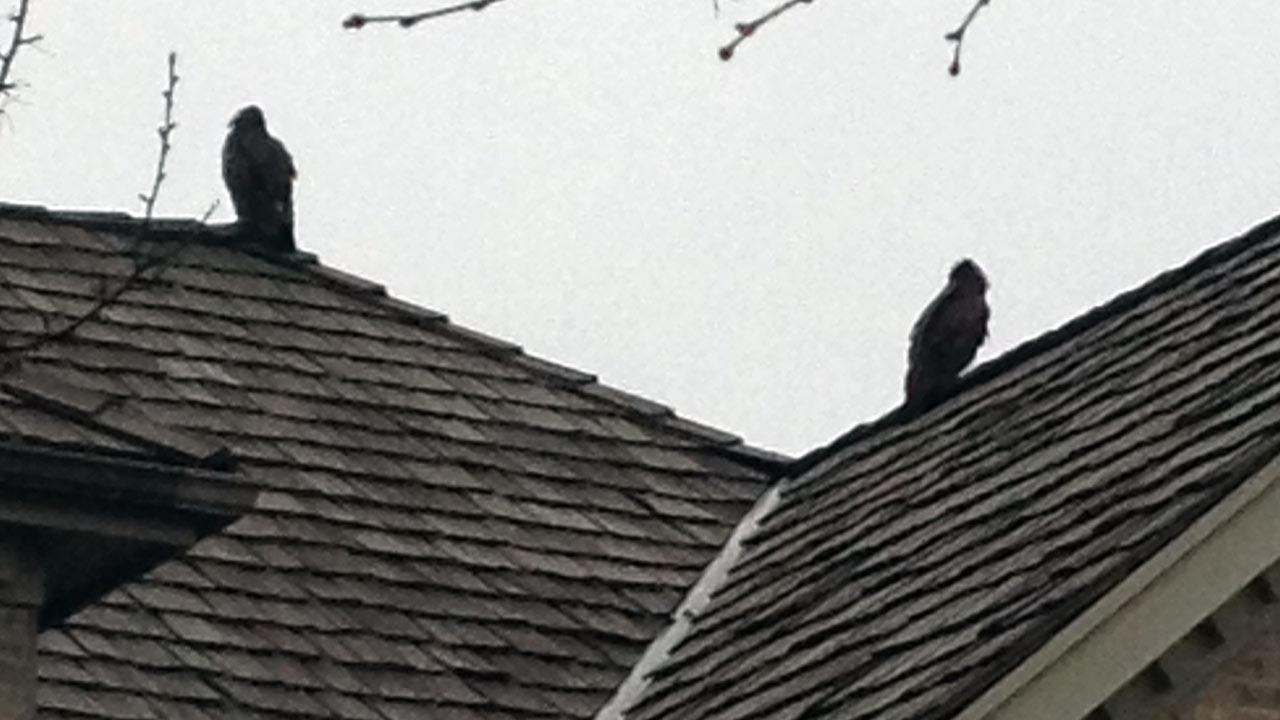 Amy Sillito says her parents took the above picture of two condors sitting on the roof of a house.