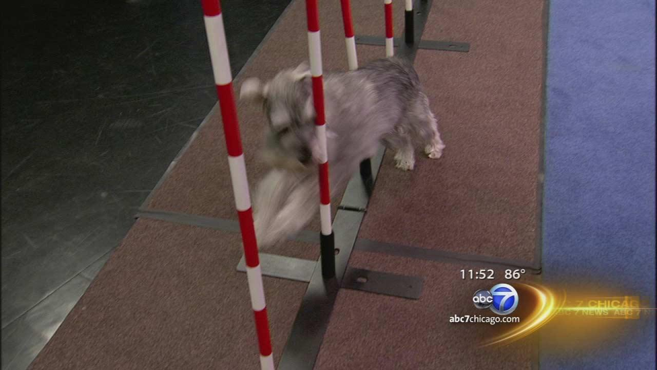 As we celebrate a week of the Dog Days of Summer your pooch become a dog agility champion.