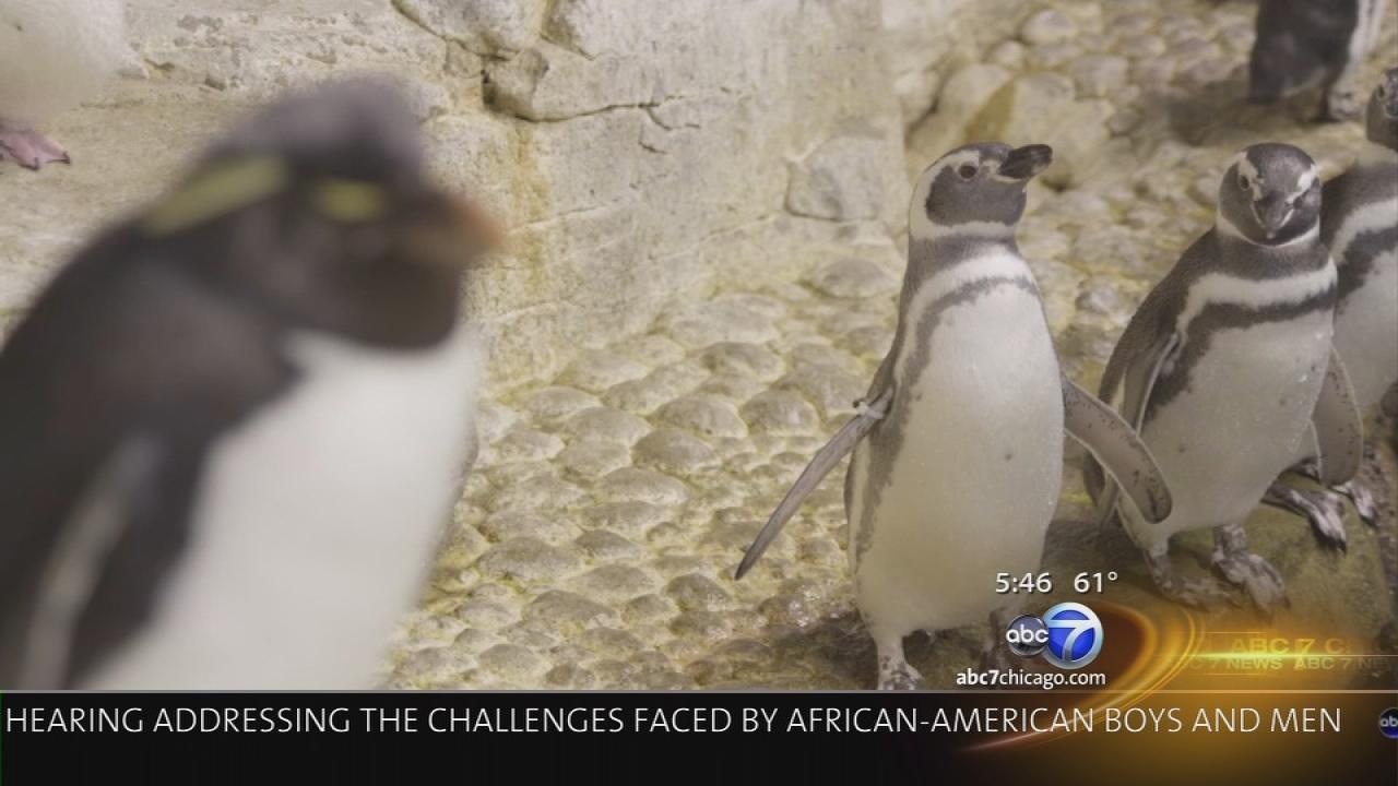 Baby Rockhopper Penguin born at Shedd Aquarium
