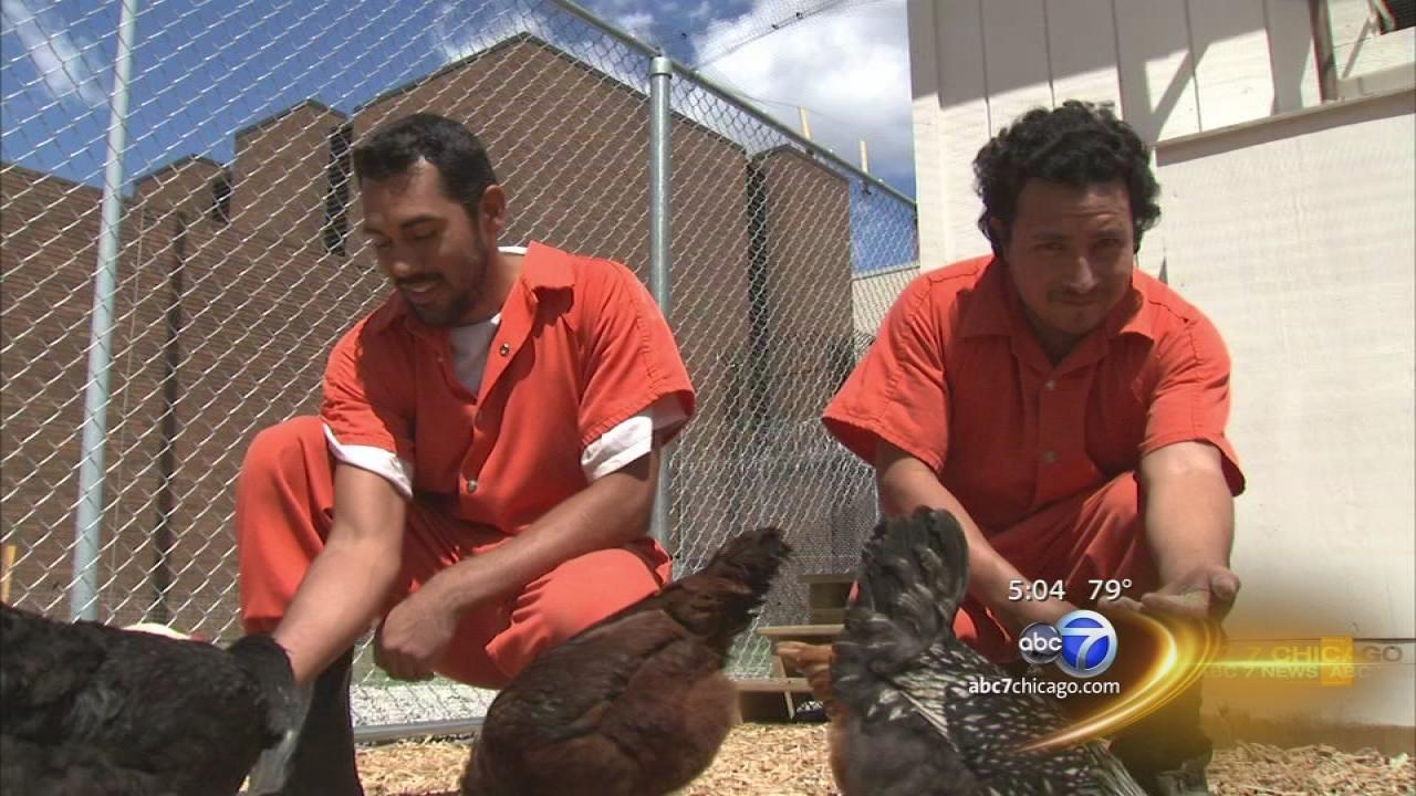 Cook County inmates serving time by raising chickens