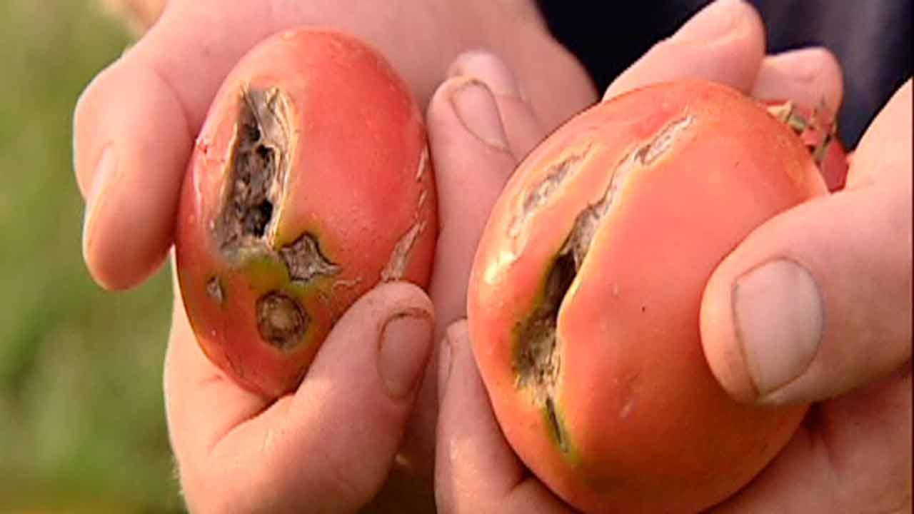 Wet weather puts damper on organic produce