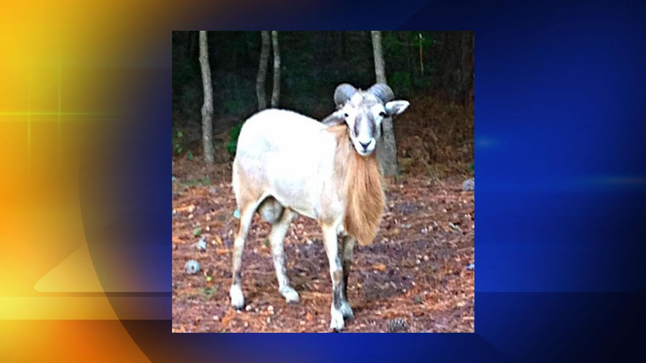Bubba the sheep (Image courtesy Durham County Sheriffs Office)