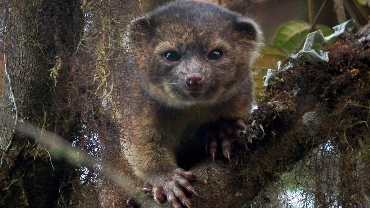 The olinguito looks like a cross between a house cat and a teddy bear.