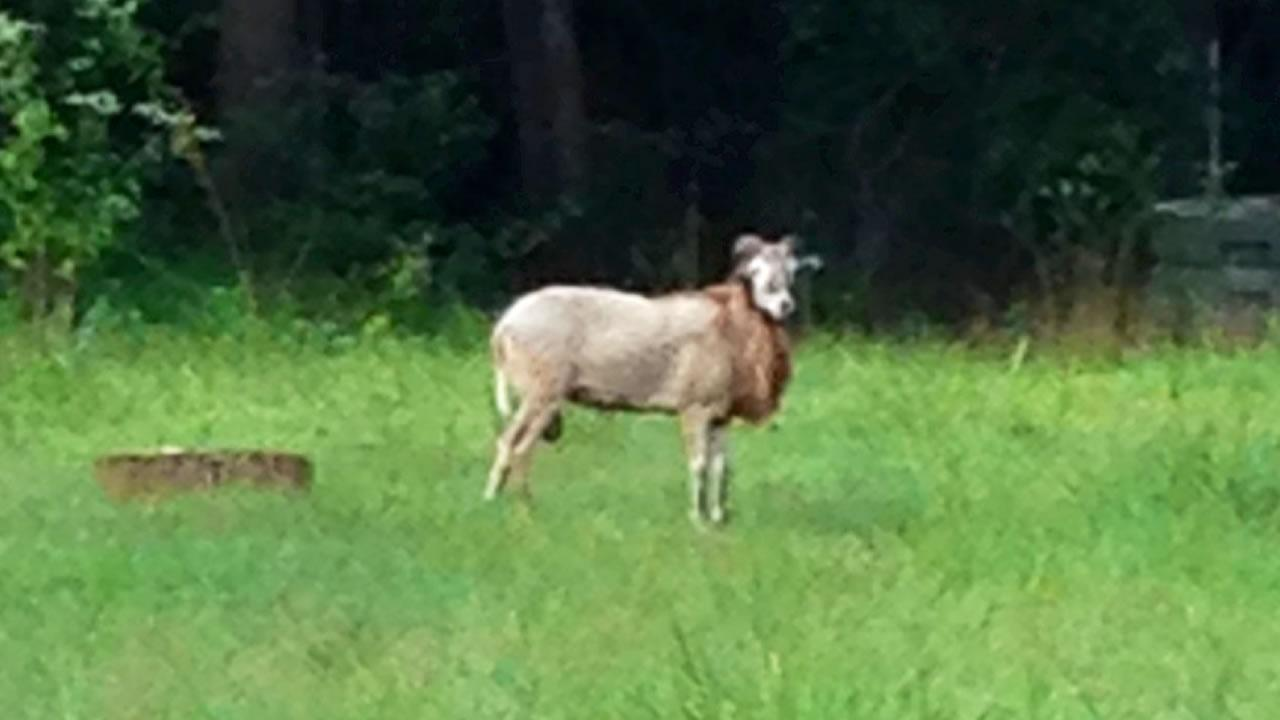 Bubba the ram spotted near an abandoned home off of Cornwallis Road in Durham in August.