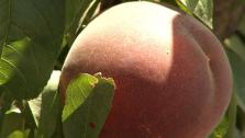 Stone Fruit From The Source