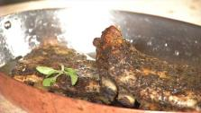 Grilled Lamb Riblets with Lemon and Oregano