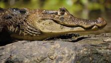 A Caiman sunning itself on a log in Costa Rica.